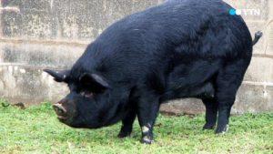 Черная свинья