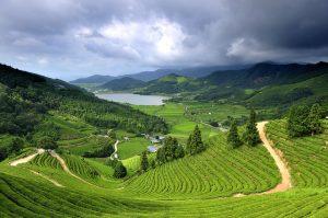 Чайная плантация в Корее